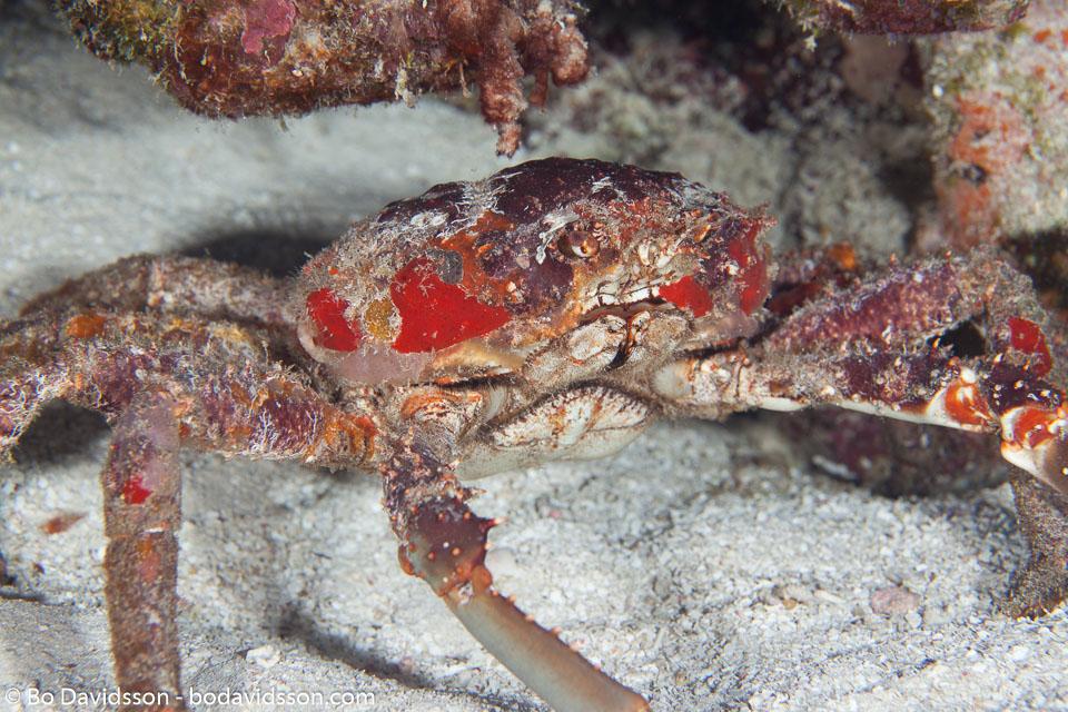 BD-101207-Playa-del-Carmen-2771-Damithrax-spinosissimus-(Lamarck.-1818)-[Channel-clinging-crab].jpg